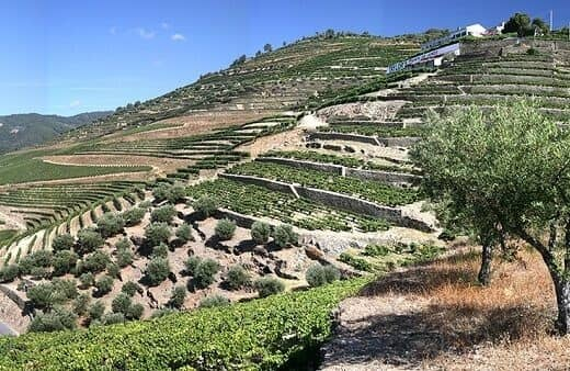 Quinta do Junco produces Ports which are often monumental in scale, adding density, concentration and structure to the blends.