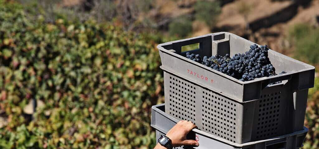 Harvest in the Douro Valley and port wine grapes