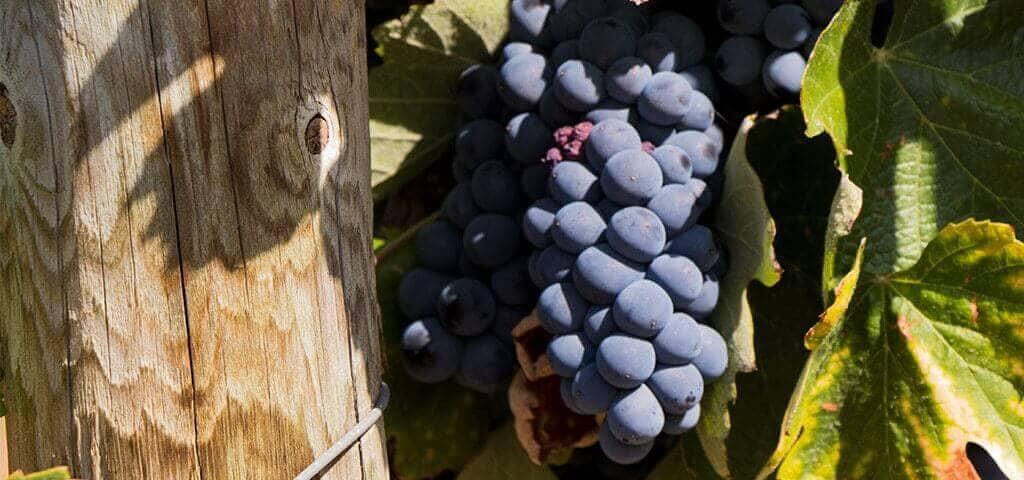 Grapes varieties used in making Port wine