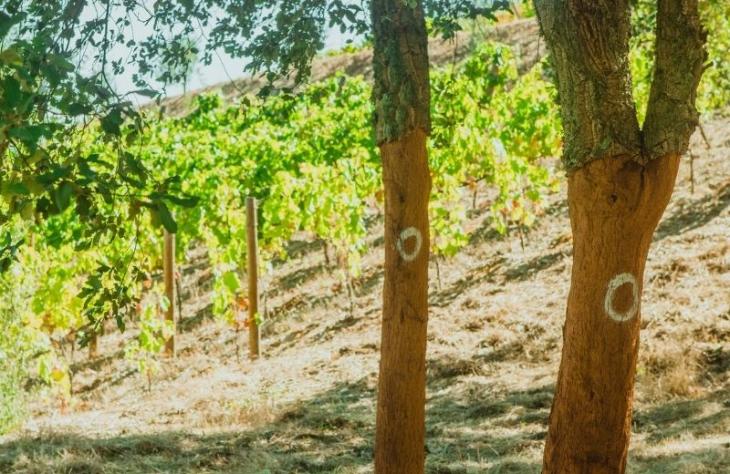 For the first time, cork was harvested from the youngest cork oaks born spontaneously next to the vineyards at Quinta da Casa Nova. These trees are...