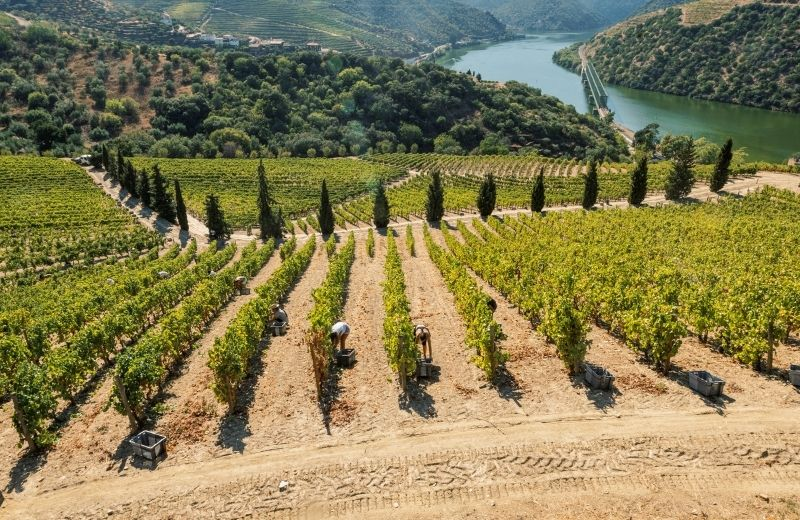 The harvest starts early in the morning at Quinta de Vargellas. It is located in the remote eastern reaches of the Douro Valley and is known for...