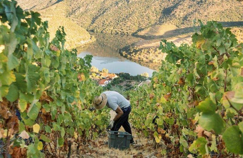 The fact the picking is done by hand actually allows for a pre-selection of the grapes, the picker collecting only the grapes that are ripe and in...