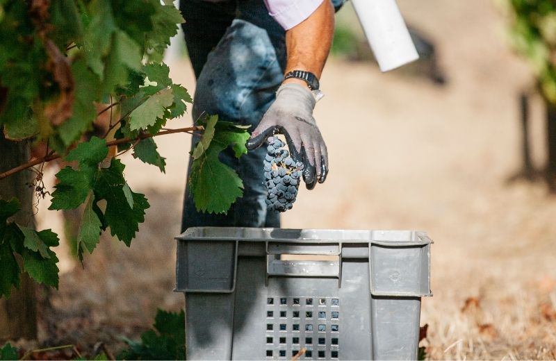 The harvest continues at our Quinta de Vargellas for another week of hard work and dedication.