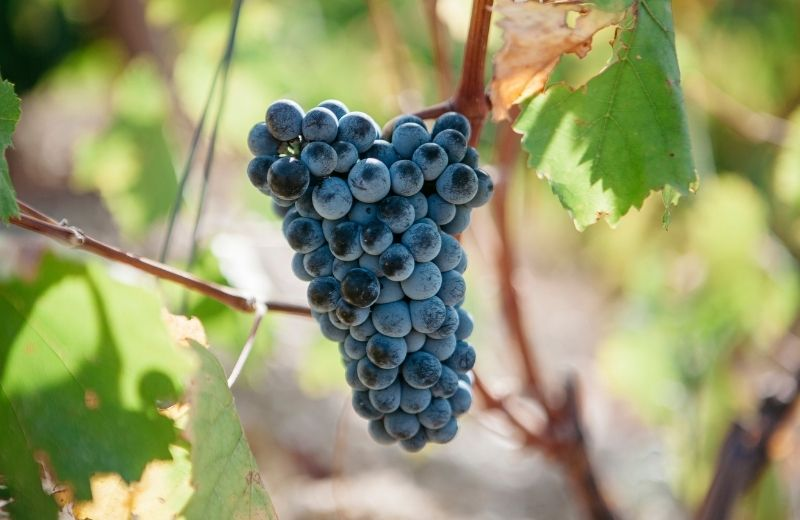 Port wine is made from a wide range of traditional grape varieties, most of them are indigenous to the Douro Valley.    Follow us on social...