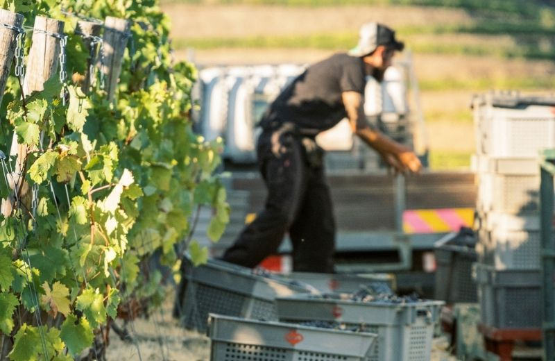 During the harvest teamwork is essential.Each row of vines is harvested, usually in a single pass. At the end of each line of vines, the...