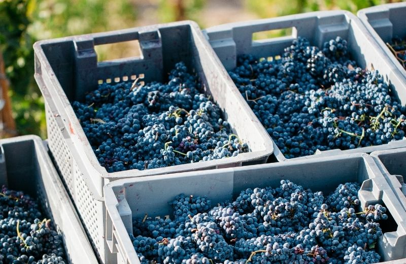 Once harvested, the grapes are sent to the winery. Some of these grapes will be part of a Taylor's LBV in the future. LBV is an intense port...