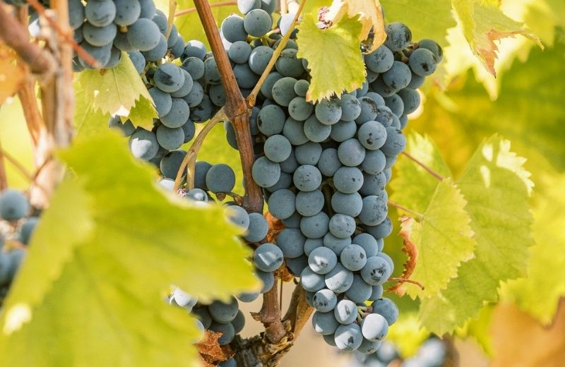 In a year of intense heat, one grape variety in particular stood out from all the others for its resilience and adaptation to such extreme...